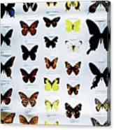 Pattern Made Out Of Many Different Butterfly Species Canvas Print