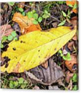 Paw Paw Leaf Fall Colors Canvas Print