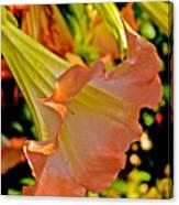 Peach Angel's Trumpet At Pilgrim Place In Claremont-california Canvas Print
