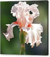 Peach Bearded Iris 2 Canvas Print