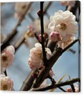 Peach Blossoms In Spring Canvas Print