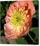 Peach Colored Poppy Canvas Print
