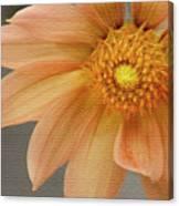 Peach Dahlia Canvas Print