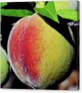 Peach Fuzz Canvas Print