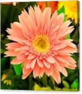 Peach Gerbera Daisy Canvas Print