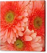 Peach Gerbers Canvas Print