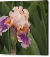 Peach Iris Canvas Print