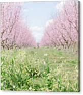 Peach Orchard 4 Canvas Print