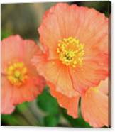 Peach Poppies Canvas Print