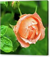 Peach Rose In The Rain Canvas Print