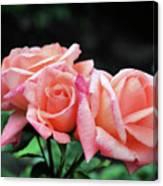 Peach Rosebud Trio Canvas Print