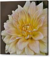 Peaches And Cream Dahlia Canvas Print