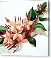 Peachy Ixora Canvas Print