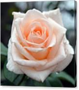 Peachy Rose Canvas Print