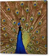 Peacock 01 Canvas Print