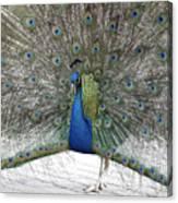 Peacock 03 Canvas Print