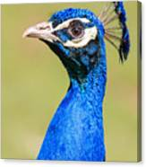 Peacock - 2 Canvas Print