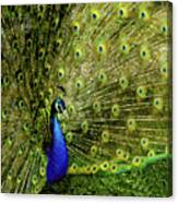 Peacock At Frankenmuth Michigan Canvas Print