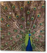 Peacock At The Fort Canvas Print