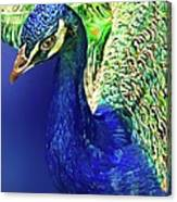 Peacock Blued Canvas Print