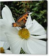 Peacock Butterfly On Cosmos Canvas Print