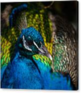 Peacock Closeup Canvas Print