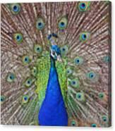 Peacock Displaying His Plumage Canvas Print