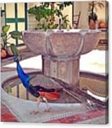 Peacock - Havana Cuba Canvas Print