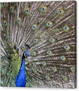 Indian Peacock II Canvas Print