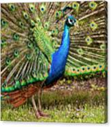Peacock In Beacon Hill Park Canvas Print