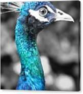 Peacock Luminance Canvas Print