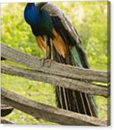 Peacock On Fence Canvas Print
