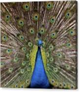 Peacock Plumage Canvas Print