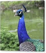 Peacock Portrait #3 Canvas Print