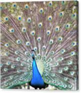 Peacock Show Canvas Print