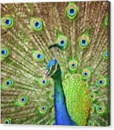 Peacock Showing Off Canvas Print
