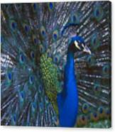 Peacock Splendor Canvas Print