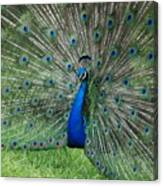 Peacocks Glory Canvas Print