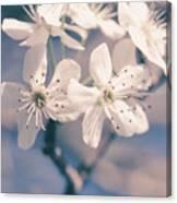 Pear Blossoms 4 Canvas Print