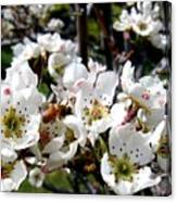 Pear Blossoms And Bee Canvas Print