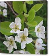 Pear Blossoms In Full Bloom Canvas Print