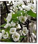 Pear Tree Blossoms 2 Canvas Print