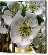 Pear Tree Blossoms 3 Canvas Print