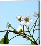 Pear Tree Blossoms 4 Canvas Print