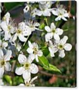 Pear Tree Blossoms Iv Canvas Print