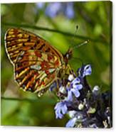 Pearl-bordered Fritillary Canvas Print