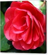 Pearl Of Beauty - Red Camellia Canvas Print