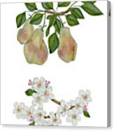 Pears And Pear Blossoms Canvas Print
