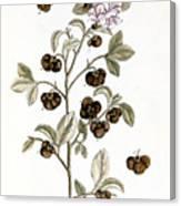 Peco Tea, 1735 Canvas Print