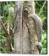 Peek-a-boo Sloth Canvas Print